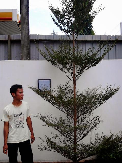 Harga jual pohon ketapang kencana, tukang taman menjual tanaman pelindung, tanaman peneduh