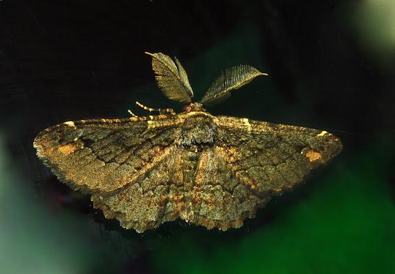 Geometridae : Ennominae : Boarmiini : Pholodes sinistraria GUÉNÉE, 1857, mâle. Umina Beach (NSW, Australie), 17 avril 2011. Photo : Barbara Kedzierski