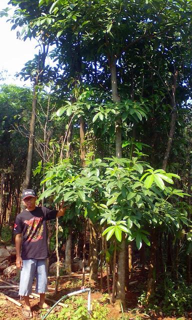 tukang taman penjual pohon pule