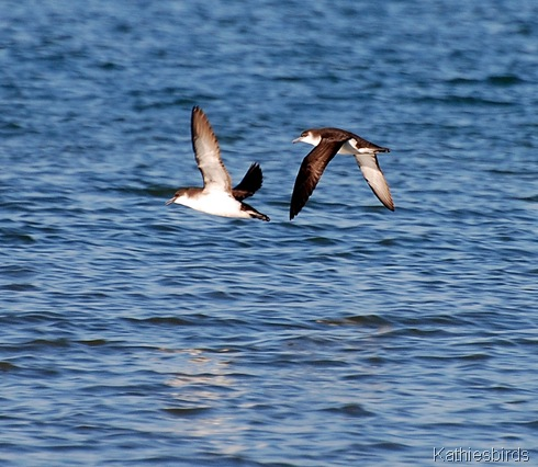 9. Shearwaters-kab