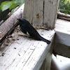 male black-throated Blue Warbler