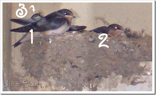 Swallows_1_2_3