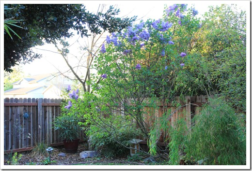 130328_Syringa-vulgaris-Blue-Skies_06