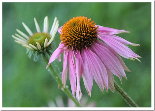 110623_Echinacea-Kims-Knee-High_01