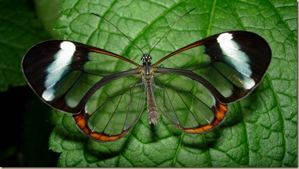 Greta oto un papillon transparent (13)