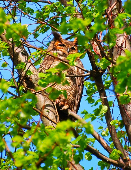 1. Great Horned Owl-kab