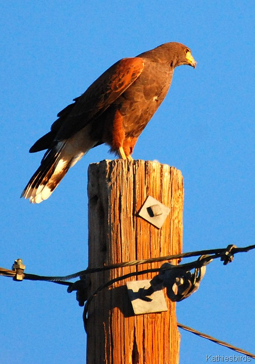 2. Harris hawk-kab