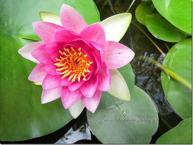 WaterLily_kkwaterstainedframe