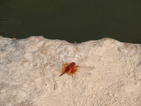 12. Insecta Oman.JPG
