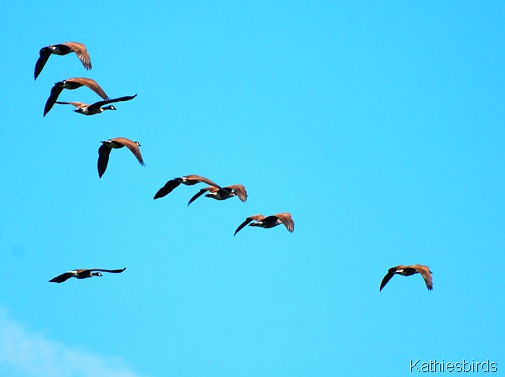 25. canada geese-kab