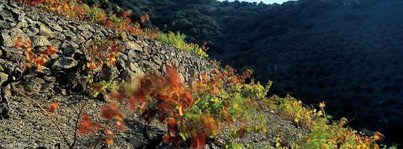 Vinyes de coster, llicorella, partida dels Masos d'en Ferrer,DOQ Priorat,Porrera, Priorat, Tarragona2001.11