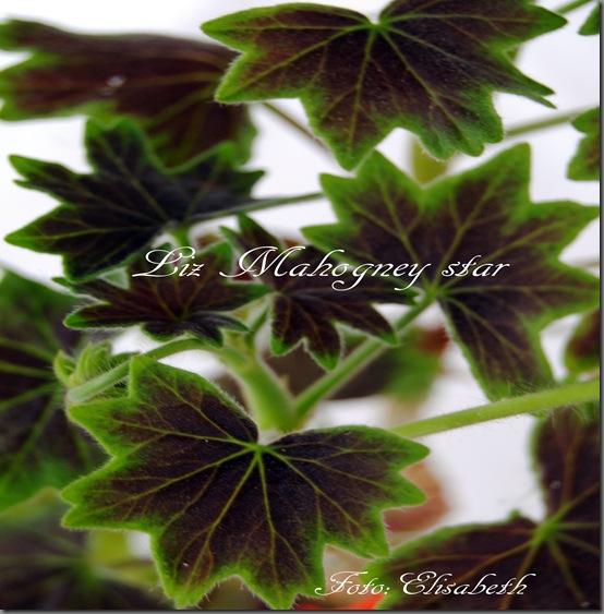 Pelargonium juni-11 026
