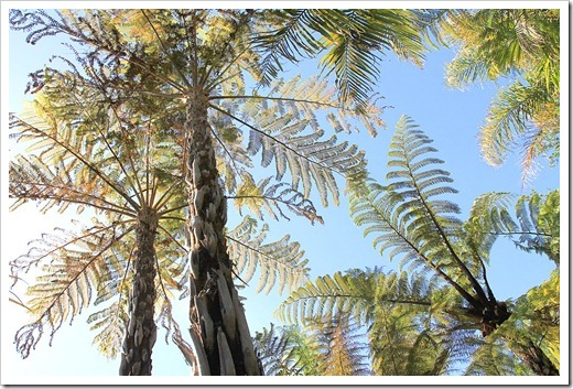 120616_Worths-Paradise-tree-fern1