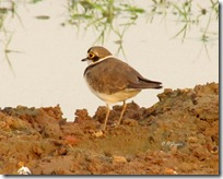 141 Little ringed Plover ( Zeeni Titodi )