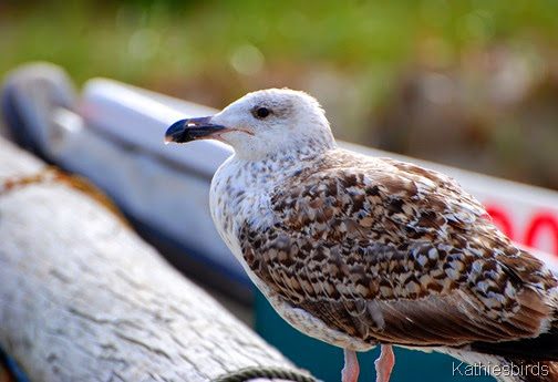 1. juv Great black-backed gull-kab