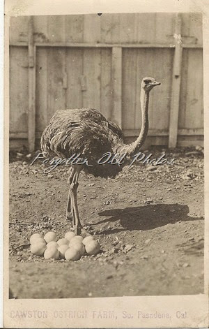 Cawson Ostrich Farm  Postcard ML Antiques