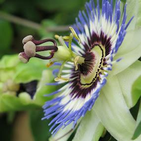 by Bozidarka Scerbe Haupt - Flowers Single Flower