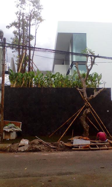 Jual pohon kamboja fosil batang besar harga murah