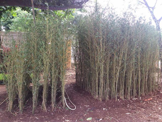 tukang taman penjual tanaman bambu pagar klisik cina batang kuningb harga murah