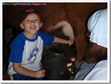 Milking a cow by hand for dutch early settlers homeschool history unit