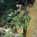 Cutleaf Toothwort