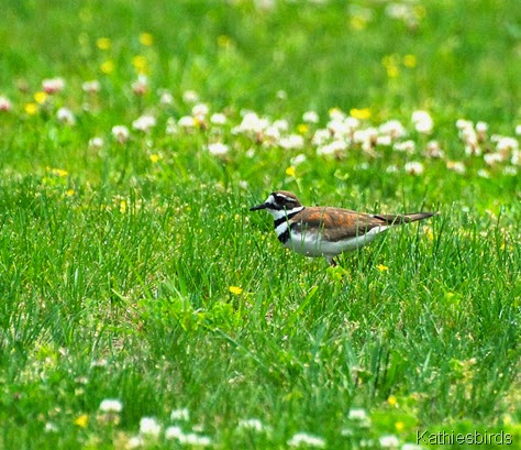 5. Killdeer-kab