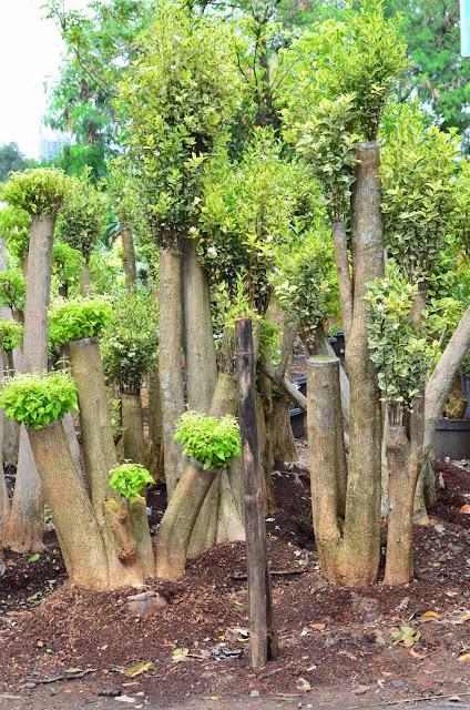 taman yang indah, asri, hijau yang sesuai dengan keinginan anda dan saya rasa adalah pilihan yang paling tepat,,,Memakai jasa kami sebagai perencana taman, pekerja yang bergerak di bidang pertamanan /landscape, suplier berbagai jenis tanaman hias, song of india, meranti bali, sambang dara, brokoli kuning, rembosa mini, bromelia, aglonema, puring,  tanaman pelindung, pohon pulai, kamboja fosil batang besar, ketapang kencana varigata, flamboyan, trembesi, kecrutan spathodea, aneka palm kurma berbuah, kopernis, moreli, kenari rombusta duri kuning, rumput taman, gajah mini, jepang, peking, golf, green, gajah biasa, taman kering, taman gaya bali, taman mewah, kolam koi hias minimalis air mancur dengan batu alam, relif tebing air terjun cadas buatan
