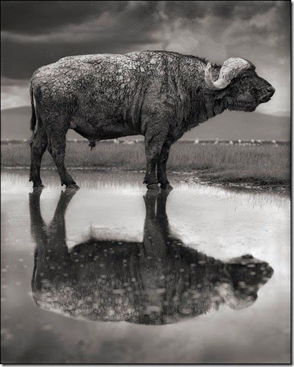BuffalowithReflection