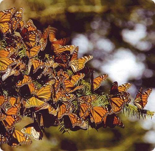mariposa monarca1