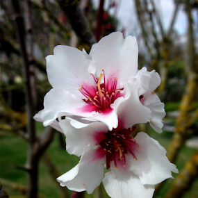 Flower almond by Florindo Silva - Flowers Tree Blossoms ( flowers,  )
