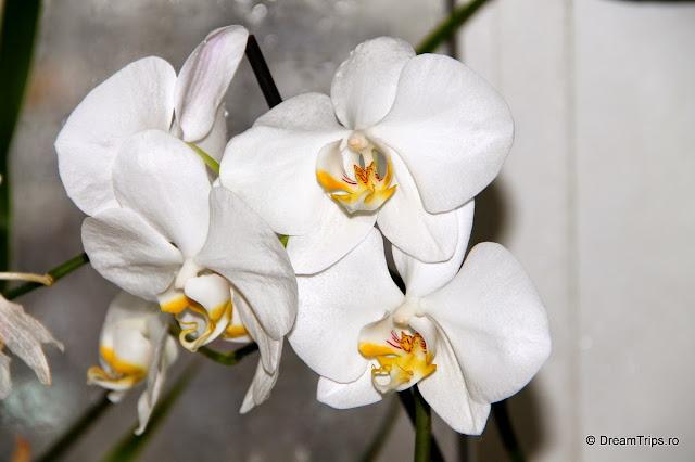 Orhidee 2079.JPG