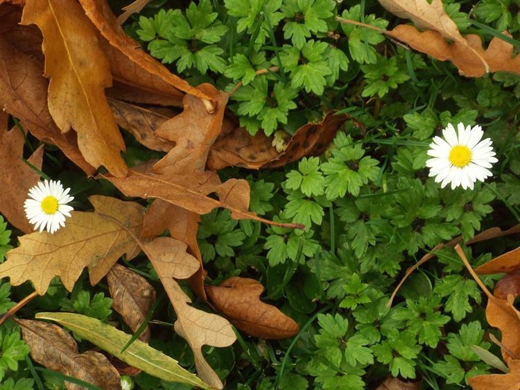 daisys and leaves
