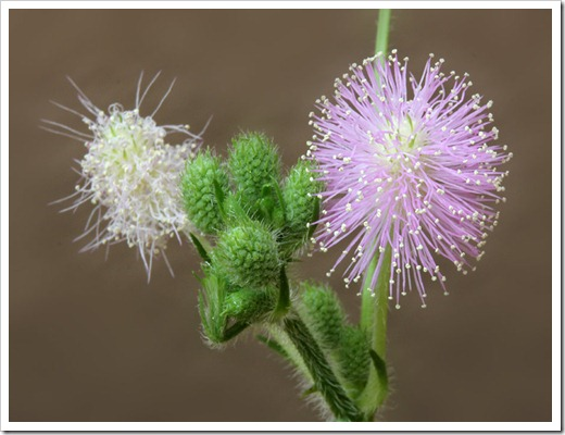 110929_Mimosa-pudica_13