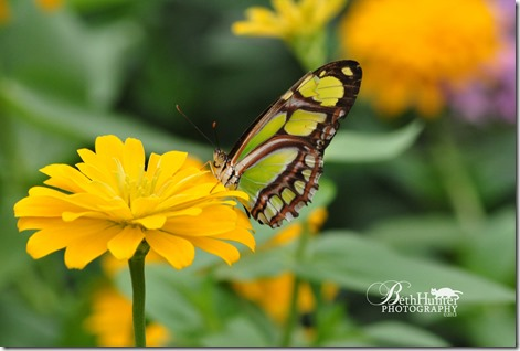 cr-zinnia-butterfly-1726--w
