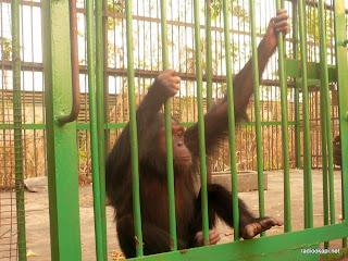Chimpanze au parc presidentiel de la N'Sele, 2010