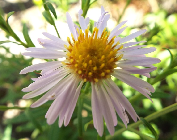 kinda like a sea aster