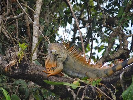 10. Iguana in copac.JPG