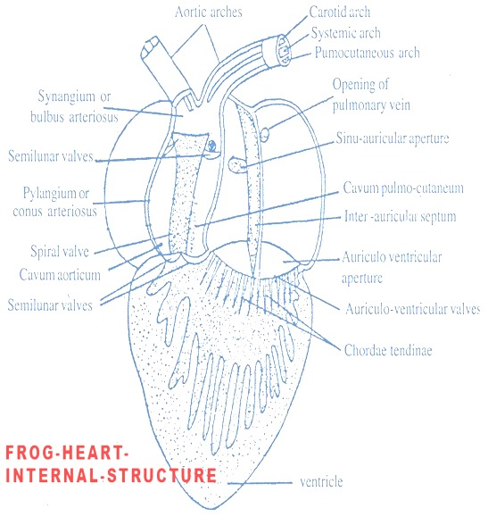 comparison of heart 01 rabbit and frog biozoom