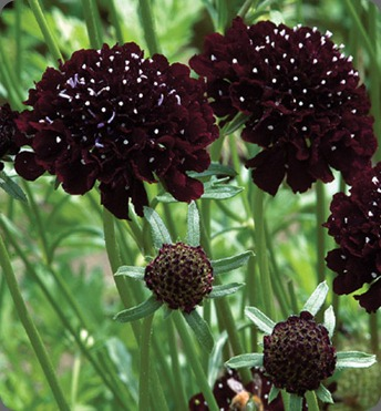 scabiosa johnnys seeds1724_1_