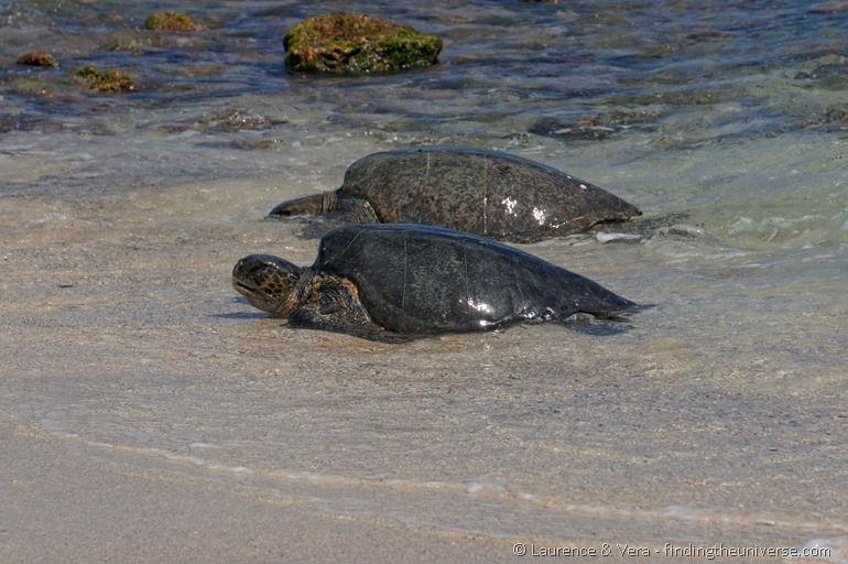 Pacific green turtles Galapagos