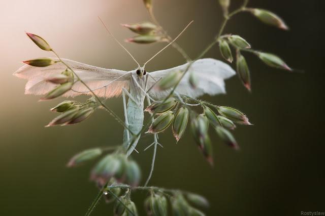 Rostilaw - 1 mariposa-paltsekrylka.jpg
