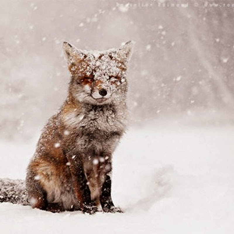 22 Breathtaking Wildlife Pictures Of Beautiful Foxes.
