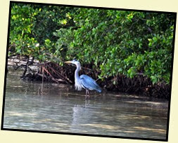 04 - Great Blue Heron under the mangroves