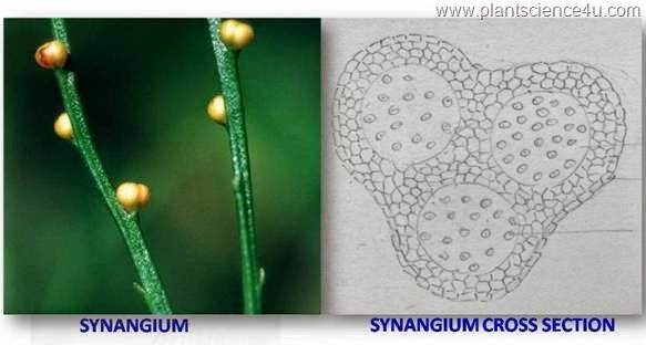 synangium cross section