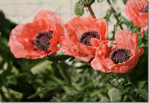 Papyrus Salmon Poppies