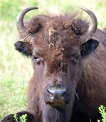 buffalo on the wildlife loop Custer State Park