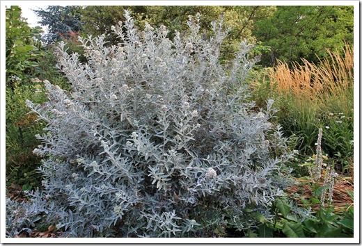 Buddleia-Morning-Mist_01