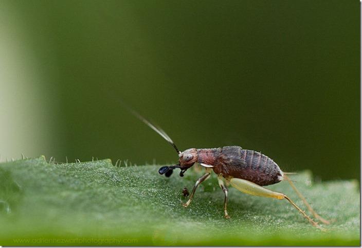 Juvenile cricket - photo by adrienne zwart of adrienneinohio.blogspot.com