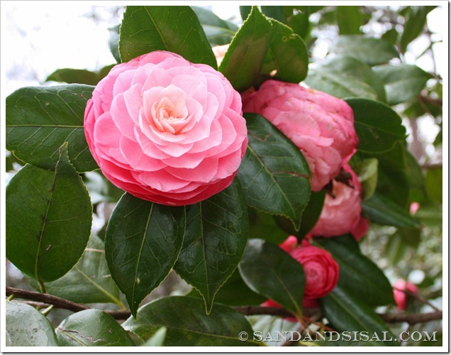 Masterpiece Pink Camellia (1024x798)