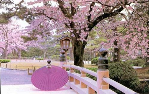Bunga Sakura Tumbuh Di Indonesia